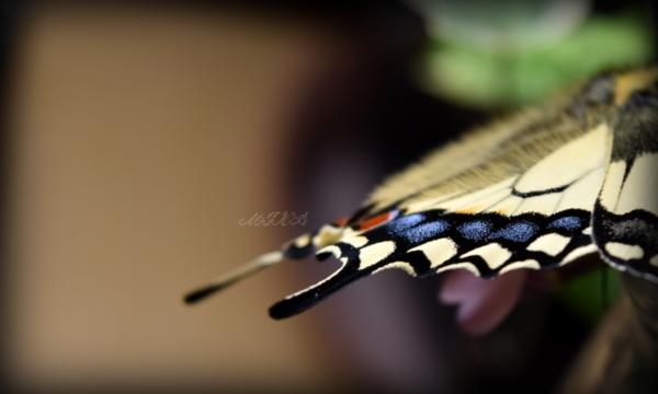 《越冬キアゲハ蛹が羽化しました(≧▽≦)》
