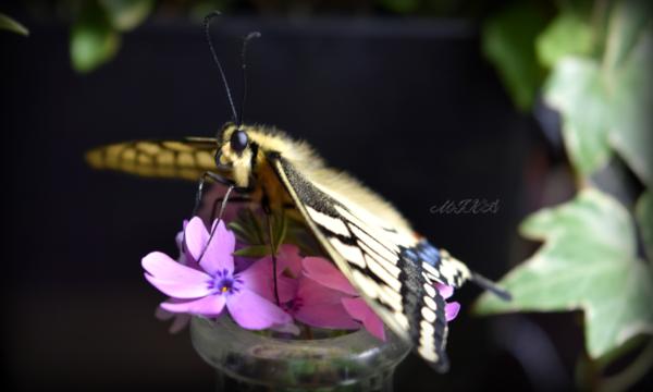羽化 キアゲハ キアゲハの幼虫を育てる~羽化するまでの1か月~