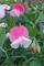 花壇で矮性スイートピー 2020年秋まき