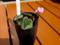原種シクラメンコウムの種蒔き記録