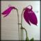《Masdevallia/マスデバリア栽培@北海道南 pt.1》