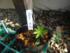 ルピナスを種から育ててみる。